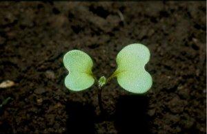 Brassica_nigra_2-min.jpg