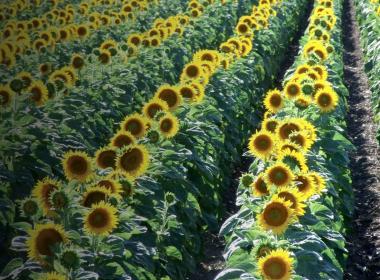 Floarea_soarelui_Header_FMC_v2.jpg